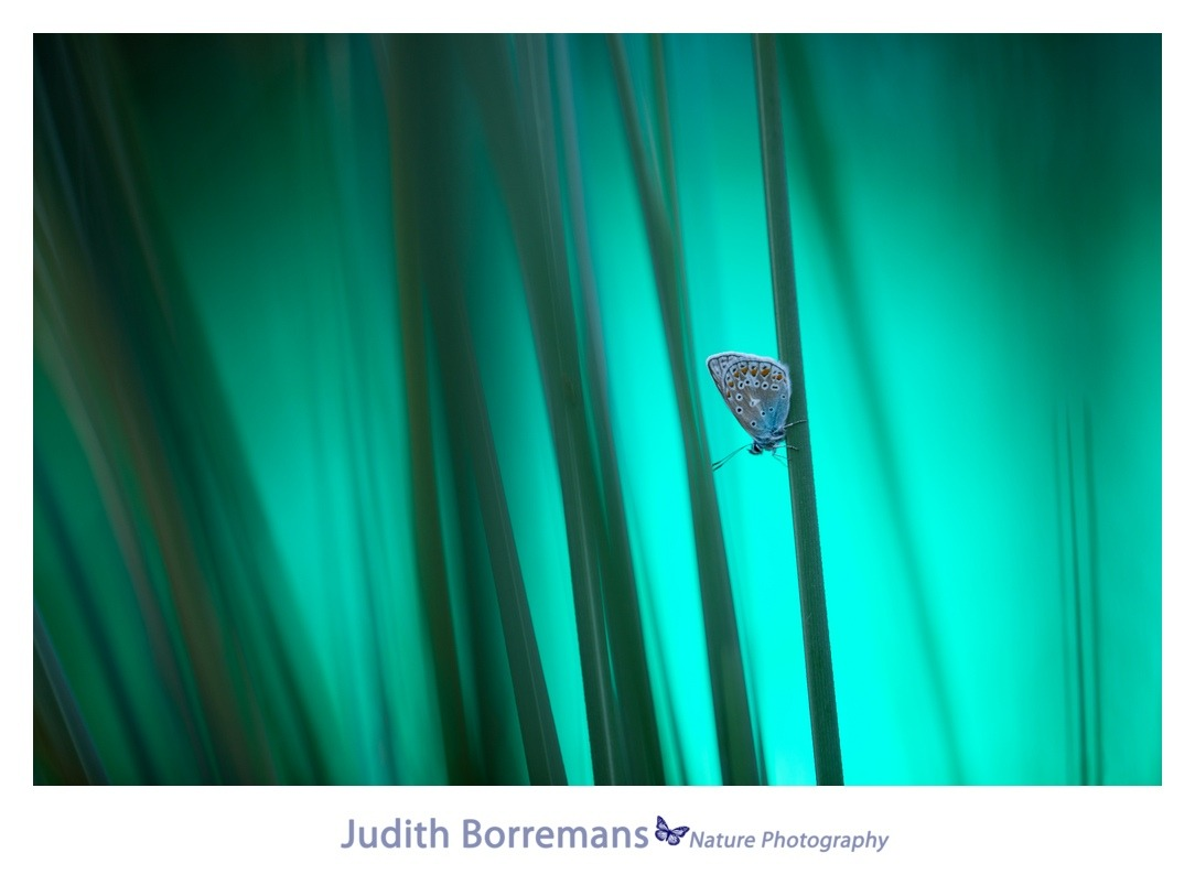 Icarusblauwtje op Texel