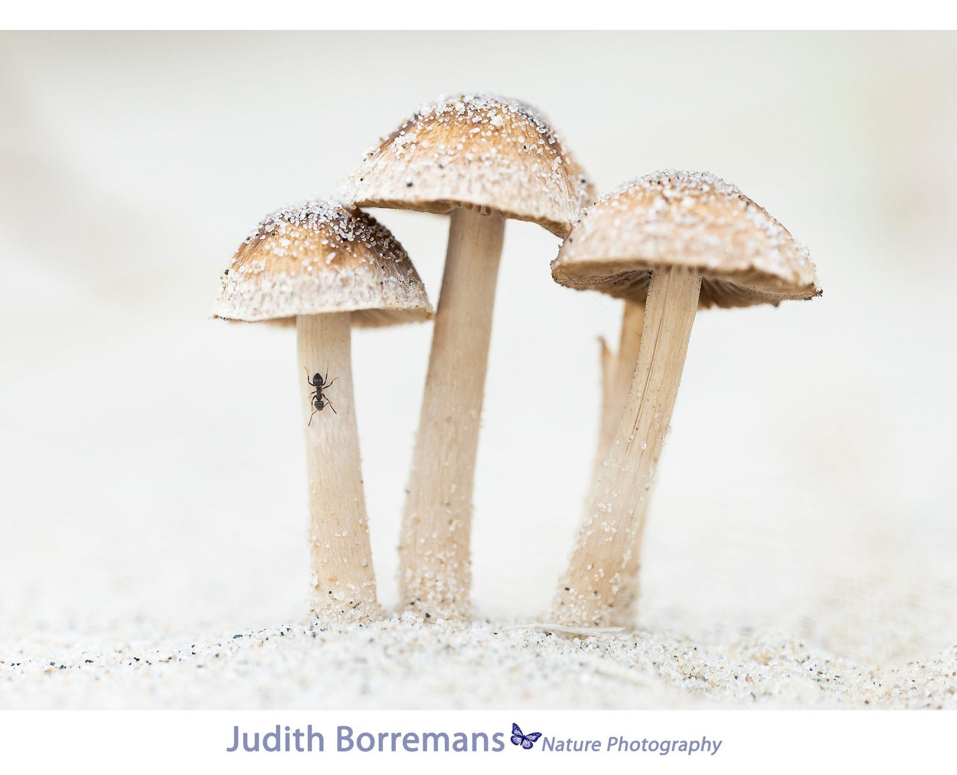 Duinpaddenstoelen Met Mier