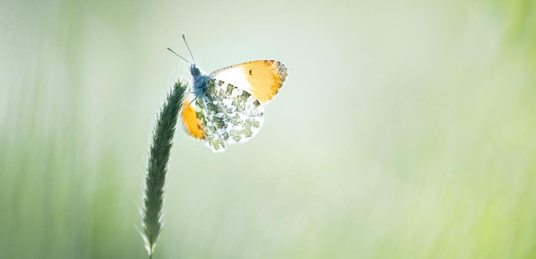 Oranjetipje met vleugels open
