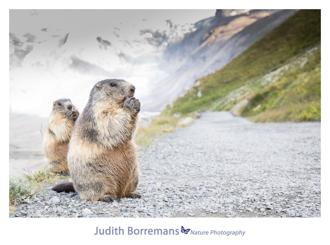 Alpenmarmotten Fotograferen In Oostenrijk