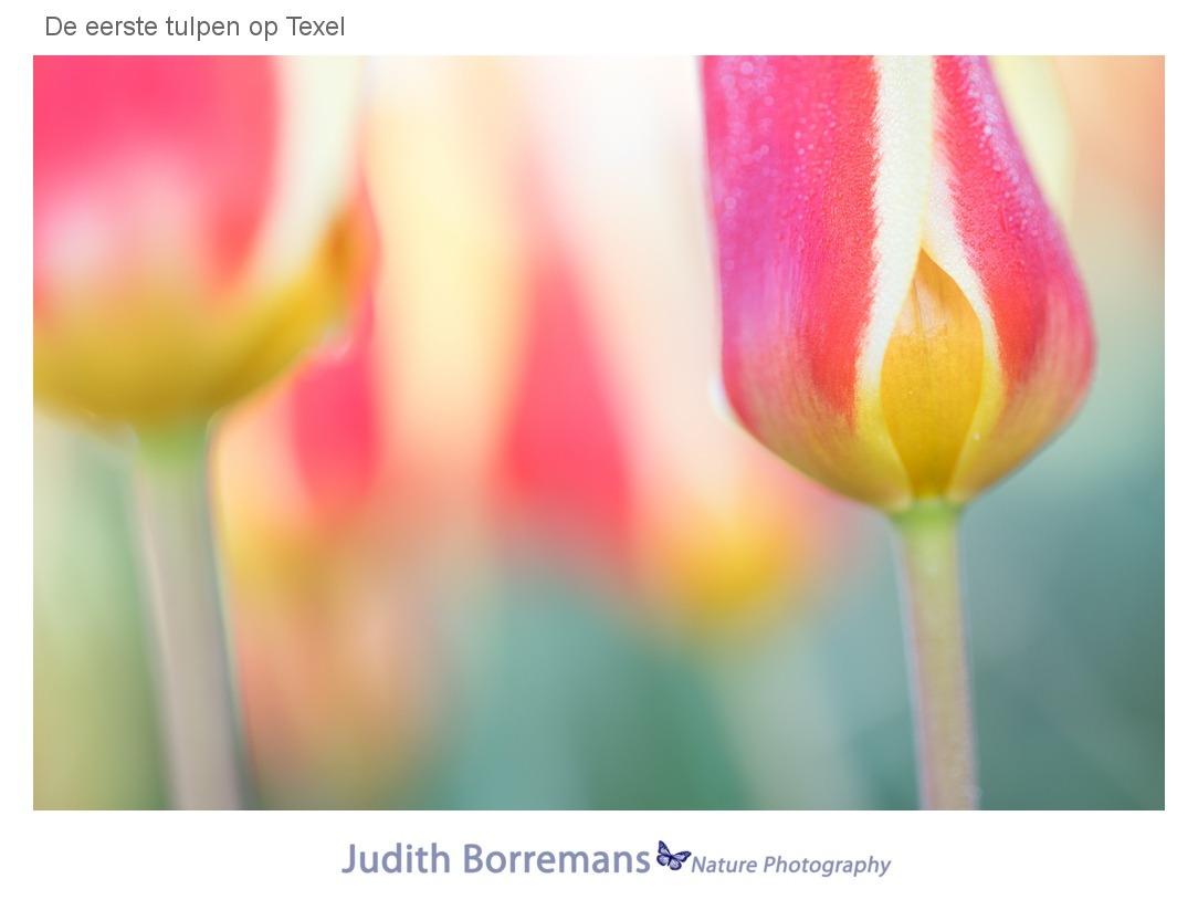 De eerste tulpen op Texel