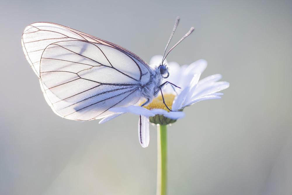 Vlinders Fotograferen In Viroinval