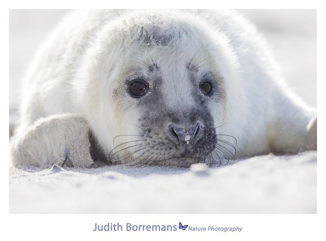 Pasgeboren grijze zeehond op Dune