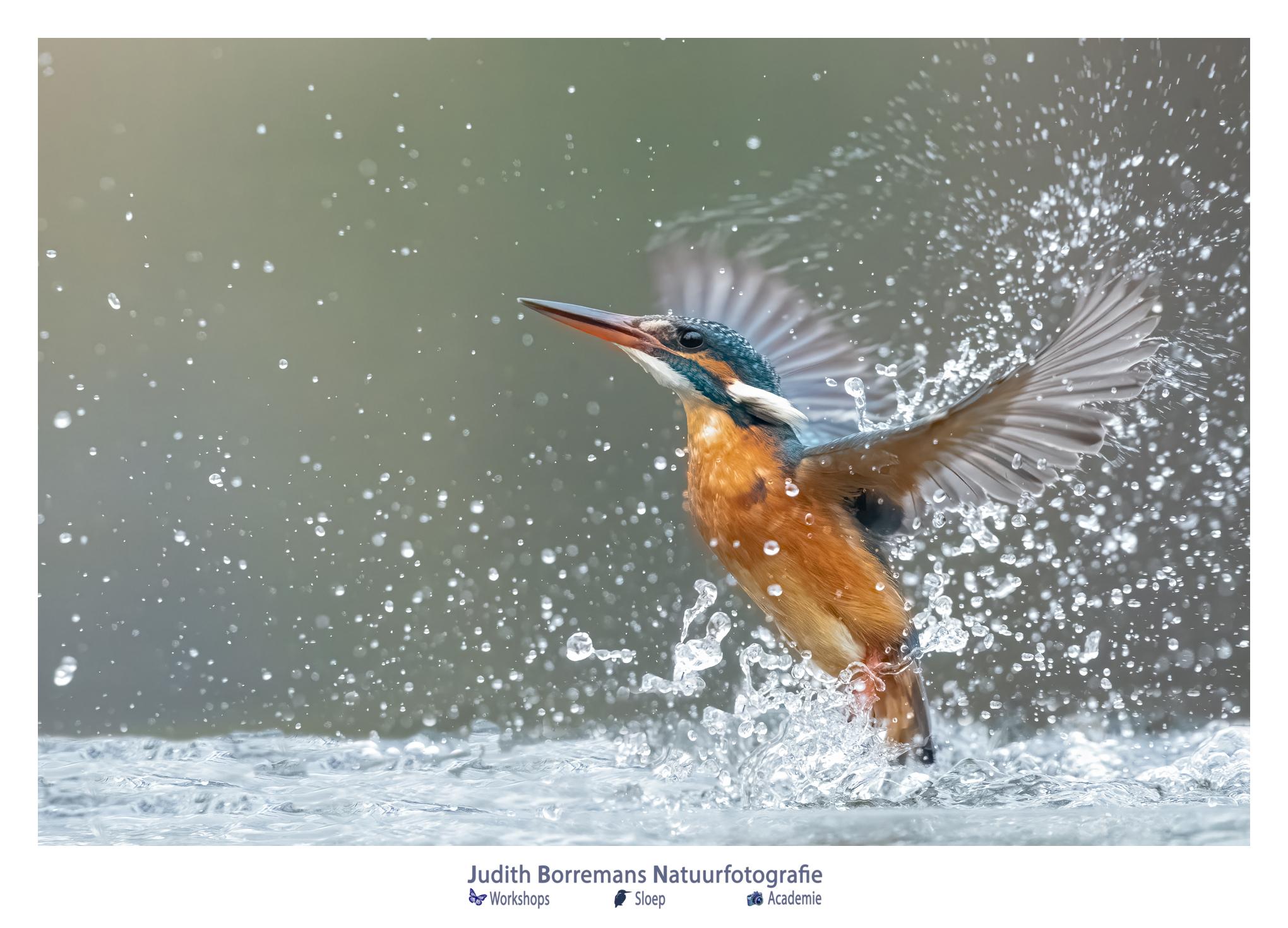 IJsvogel Net Uit Het Water