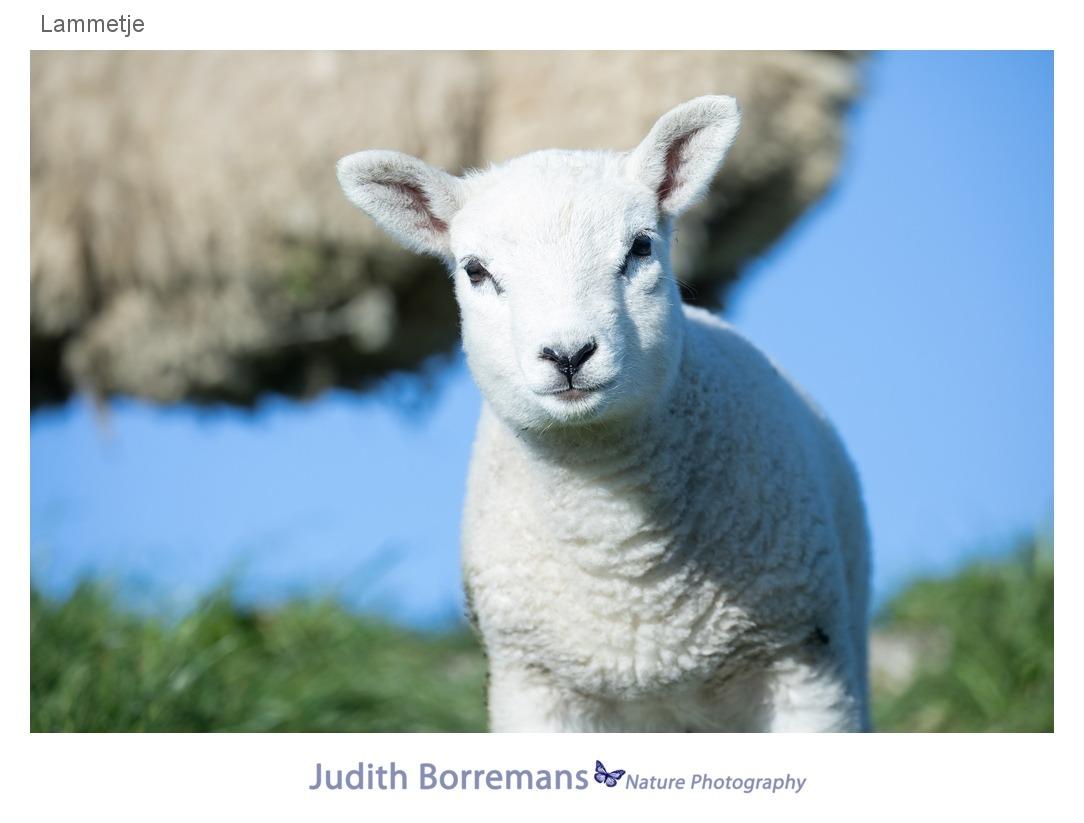 Lammetje op Texel