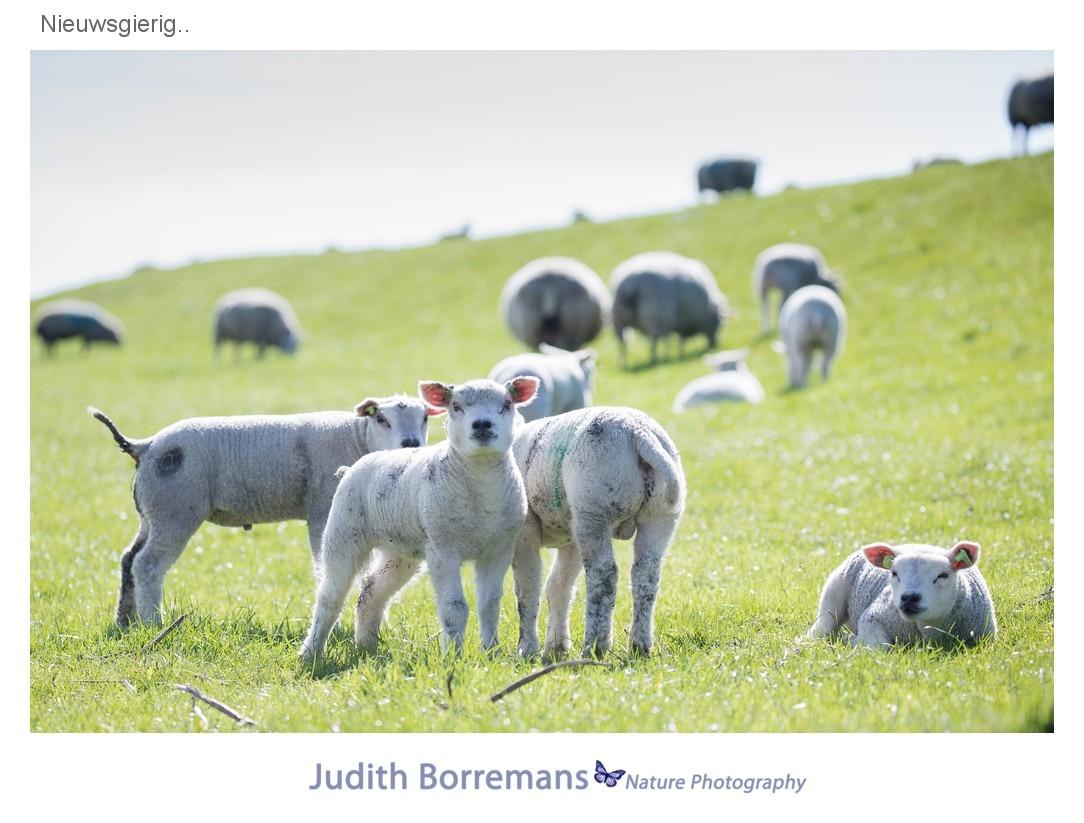 Lammetjes op Texel