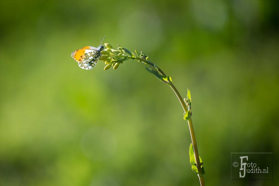 Het Vlinderseizoen Is Begonnen – Oranjetipjes