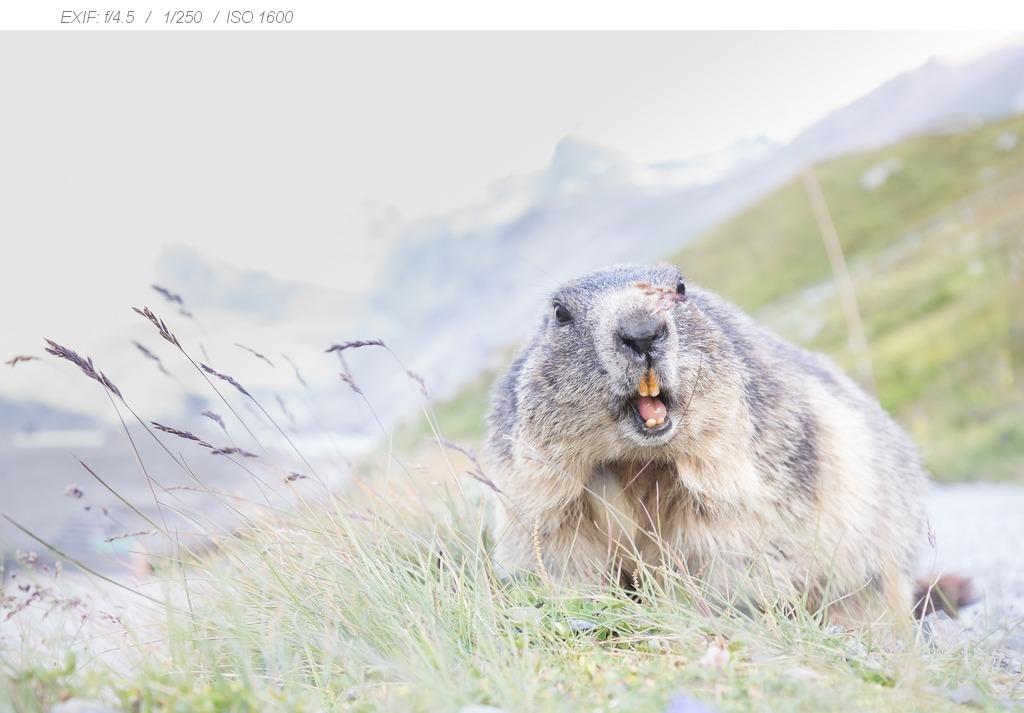 Alpenmarmotten fotograferen