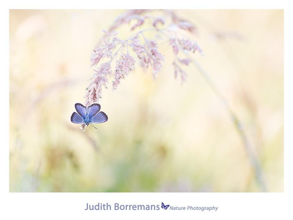 Heideblauwtje Door Judith Borremans