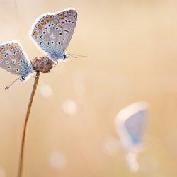 Icarusblauwtjes