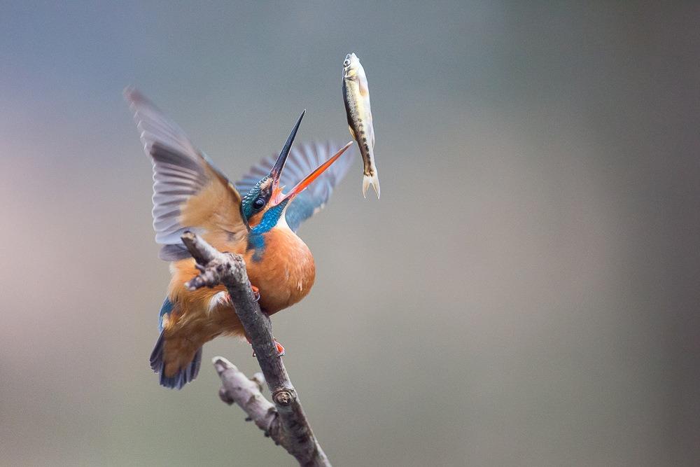 IJsvogel gooit visje in de lucht