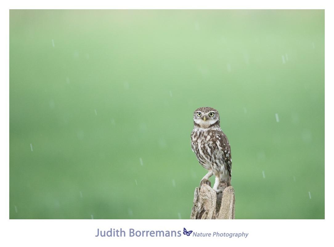 Steenuil In De Regen